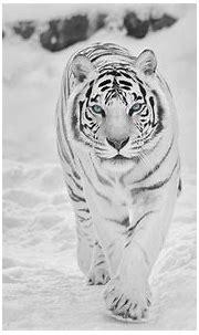 Snow tiger Animals tigers HD wallpaper | animals ...