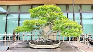Ficus Bonsai Schneiden : bonsai baum geschichte arten pflege tipps ~ Indierocktalk.com Haus und Dekorationen
