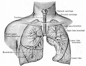 Diagram Of The Lungs And Throat