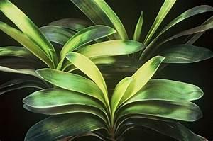 Geranien Gelbe Blätter : gelbe bl tter an der clivie pflanzenkrankheiten sch dlinge green24 hilfe pflege bilder ~ Orissabook.com Haus und Dekorationen