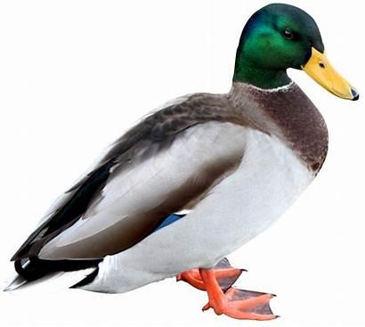 Duck Transparent Mallard Clipart Birds Pekin Bird