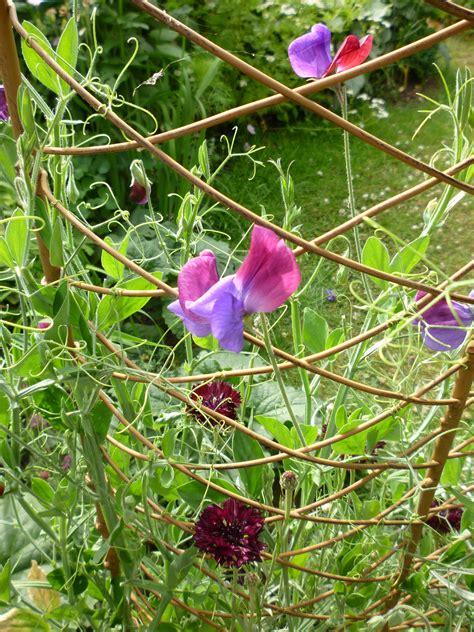 when to plant sweet peas outside sweet pea trellis google search garden 2016 pinterest pea trellis gardens and outdoor