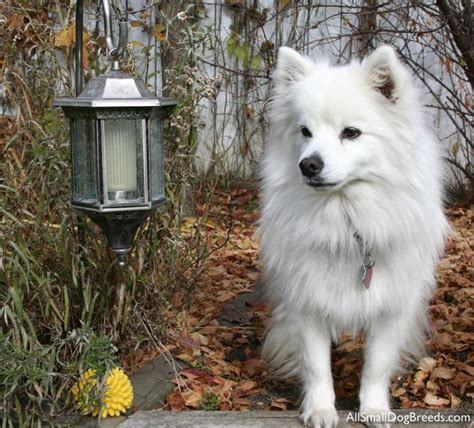 American Eskimo Spitz Shedding by Large Breeds Of Dogs Breeds Information About