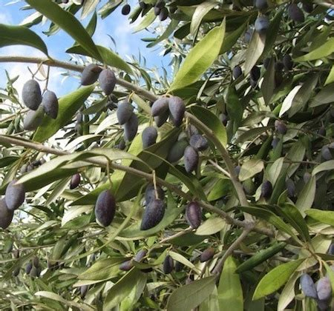 olive tree leaves olive kalamata 4 litre pot dawsons garden world 1179