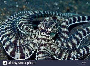 Mimic Octopus Camouflage Mode Stock Photo, Royalty Free ...