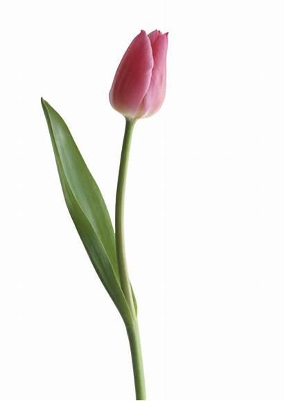 Tulip Clipart Transparent Background Purple Tulips Single
