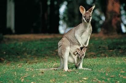 Kangaroo Families Excursions Shore Miss Kangaroos Connect