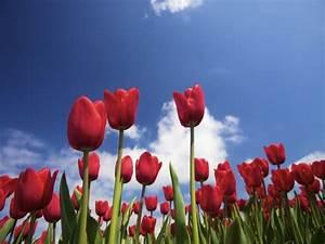 Tulpen Im Topf In Der Wohnung : tulpen pflanzen was es zu beachten gilt gartenpflanzen garten ~ Buech-reservation.com Haus und Dekorationen