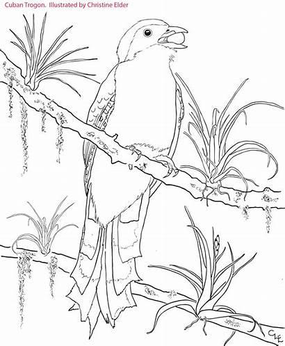 Coloring Pages Cuban Caribbean Jamaica Cuba Birds