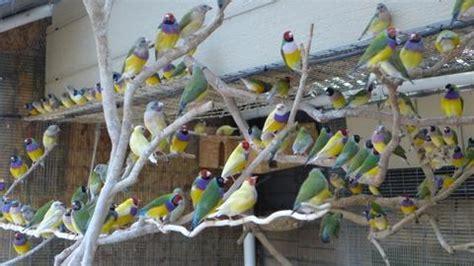 breeding  gouldian finch aviaries depot