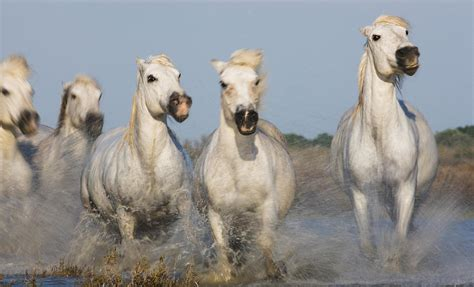 horses wild running europe camargue wonders ltd horse photograph 27th uploaded september which