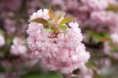 Sakura Cherry Blossom Branch Stock Image Image of