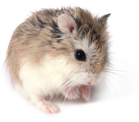 robo hamster which breed of hamster should i keep package pets