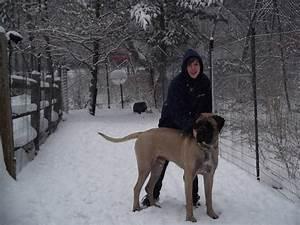 Caring for giant breeds morris animal inn for Giant breed dog kennel