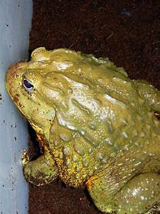 Giant African Bullfrog Photograph by Warren Thompson