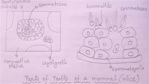 Diagram Of Seminiferous Tubules