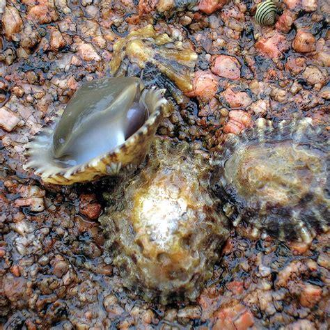 Lapa (molusco) - Wikiwand