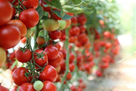 Gurķu un tomātu audzēšana siltumnīcā - padomi  Xnet.lv