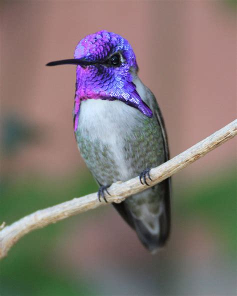 tucson audubon society blog mason center costa s