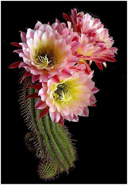ideas  cactus flower  pinterest desert