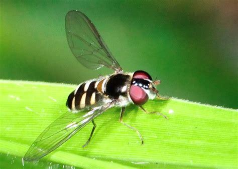 black headed hover fly melangyna sp