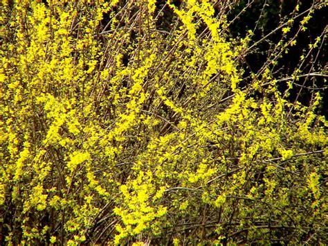 forsythia shrubs file forsythia bush 1 jpg wikimedia commons