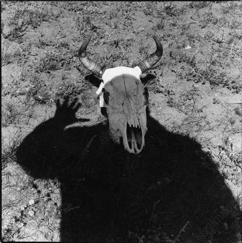 portrait silhouette  cattle skull