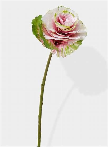 Cabbage Ornamental Pick Jamaligarden 15in