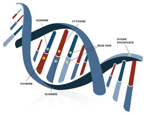 Genetic Diagram Gene Dna gallery dna gene diagram