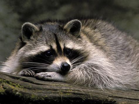 ti racoon images  pinterest raccoons