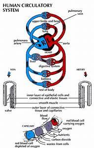 Circulatory System  Human