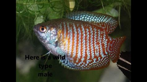 species profile   dwarf gourami trichogaster