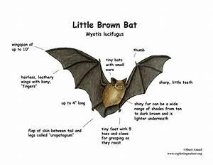 Bat  Little Brown