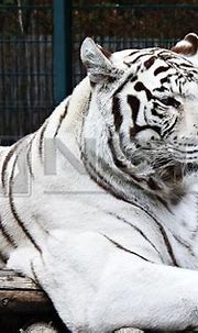 White tiger kills Japan zookeeper in rare attack | New ...