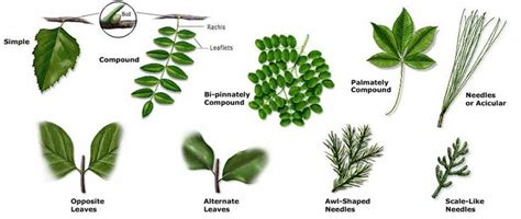 Texas Tree Id  Identifying Plants By Leaf Shapes, Fruit