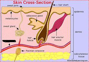 Integumentary System Skin Parts - ProProfs Quiz
