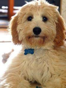 teddy bear dog breeds     teddy