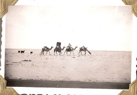 Camels Goats And Saluki In Kuwait Persian Gulf Region