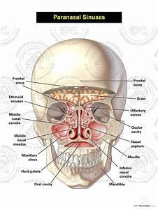 Paranasal Sinuses Illustration