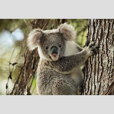 New 'koalaboration' Aims To Save Koalas From Extinction Echonetdaily