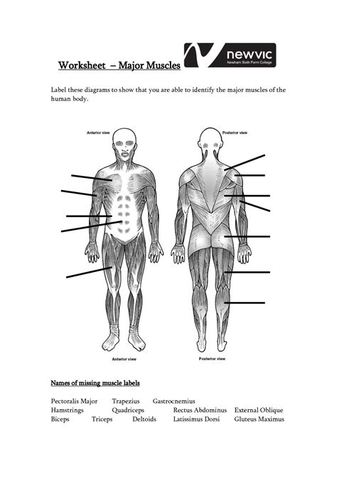 Muscles Of Human Body Worksheets  Diagram Body Of Anatomy