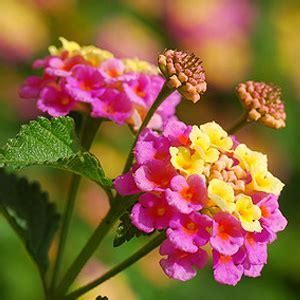 Sommerblumen Mehrjährig Winterhart by Winterharte Sommerbl 252 Pflanzen F 252 R Nassen Boden