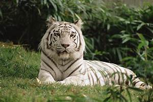 White Bengal Tiger Panthera Tigris by Gerry Ellis