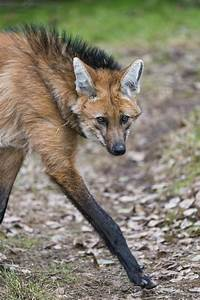 Featured Creature: Maned Wolf   Blog   Nature   PBS