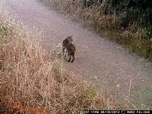 Mountain Lions Vs. Bobcats: Do You Know the Difference ...