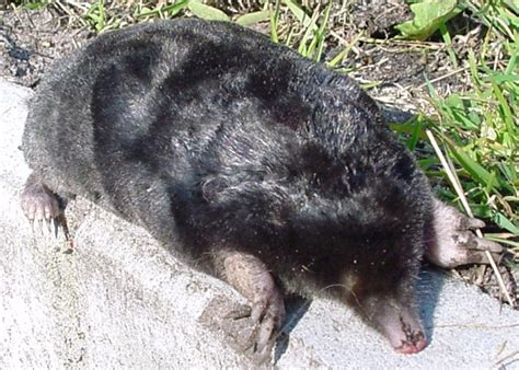 moles animal file european mole animal jpg wikimedia commons