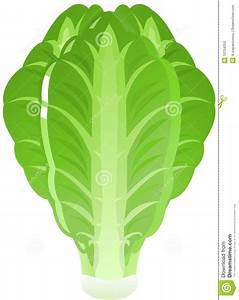 Lettuce stock vector. Image of vegetarian, green, edible ...