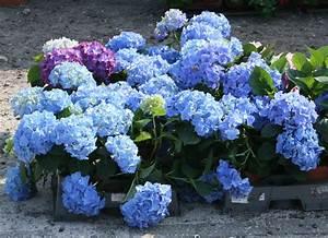 Hortensie Endless Summer Standort : hydrangea hortensie direkt aus der baumschule in ~ Lizthompson.info Haus und Dekorationen