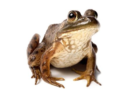 Royalty Free Bullfrog Pictures, Images And Stock Photos