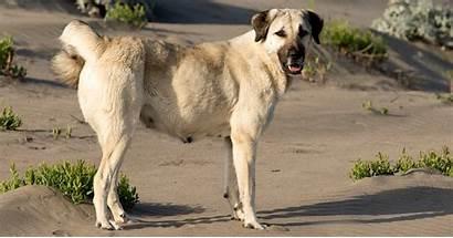 Kangal Turkish Dog Shepherd Bite Breed Breeds